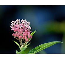 Joe-Pye Weed Photographic Print
