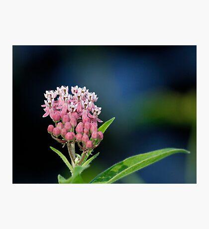 Joe-Pye Weed Photographic Print