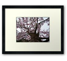 Apple Tree Trunk With Blossoms Framed Print