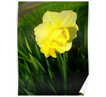 Daffodils In The Spring Poster