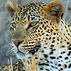 A young female leopard by jozi1