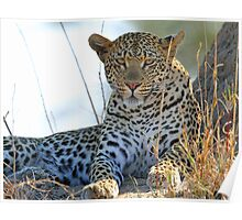 More of a young Mashaba female leopard Poster