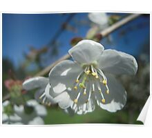 Spring Time Blossoms Poster