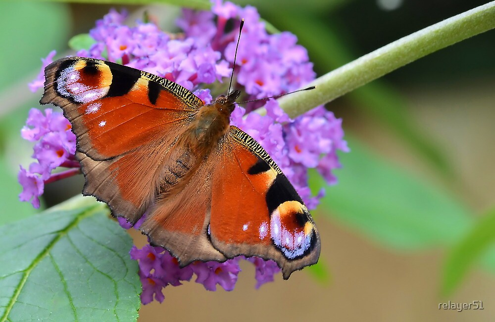 Peacock Butterfly by relayer51