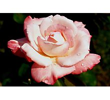 Dewy pink rose Photographic Print