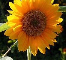 Sunflower by Roddy Fitzgerald
