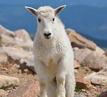 Young Male Mountain Goat by Luann wilslef