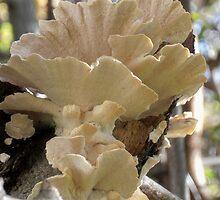 Shelf Fungi, My Garden, Tumut, Australia. by kaysharp