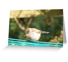 'The High Wire Act!' Female Fairy Wren, Adelaide Hills. S.A. Greeting Card