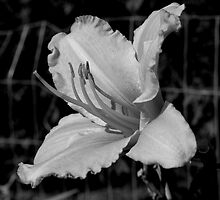 An UnColored Hibiscus  by Adam Kuehl