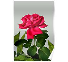 Red Rose Wilting Poster