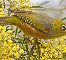 Silvereye where he belongs by TheGreatContini