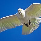 White Cockatoo in Flight by TheGreatContini