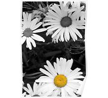 single wild irish daisy in color Poster