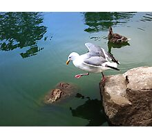 Seagull First Step Photographic Print