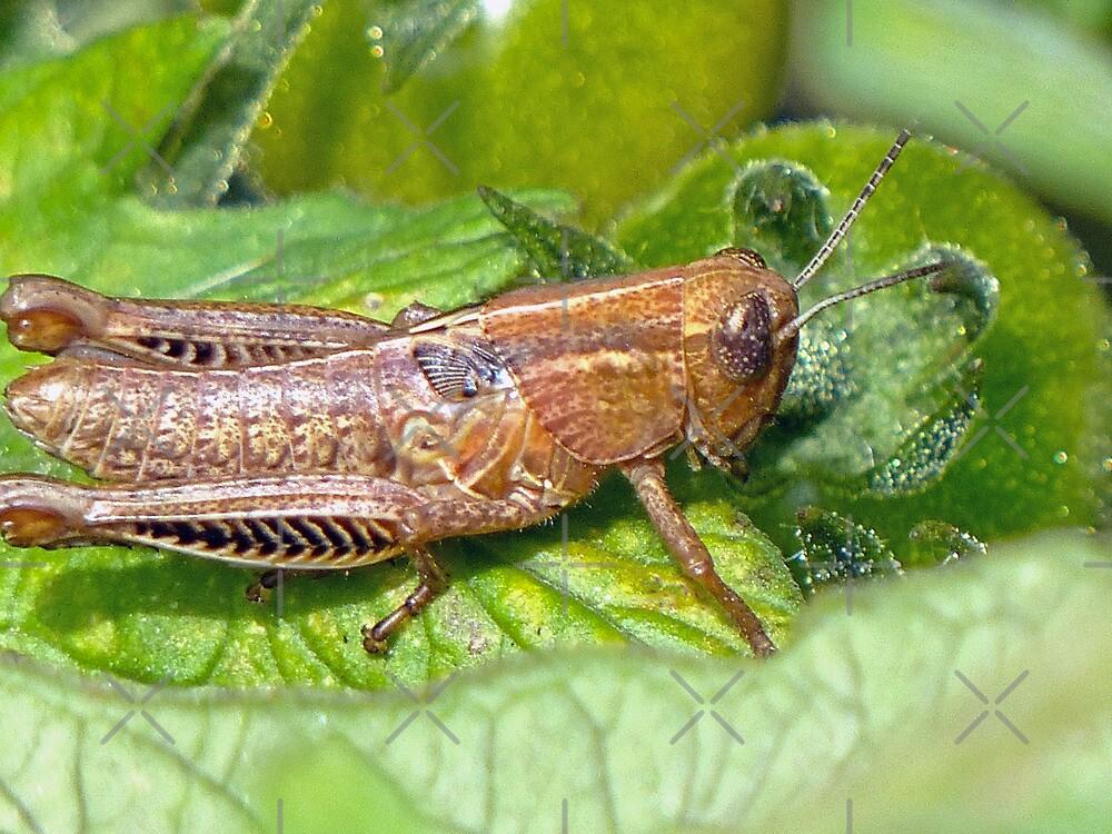 Grasshopper by Susan S. Kline