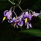 Solanum dulcamara ~ Bittersweet Nightshade by Jan  Tribe