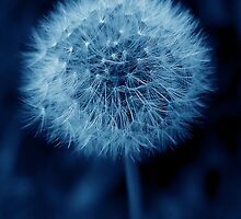 Blue Dandelion by Rachel Down