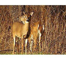Two White-tailed Deer Photographic Print