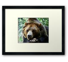 Grizzly Bear in the Colorado Rockies summer shade Framed Print