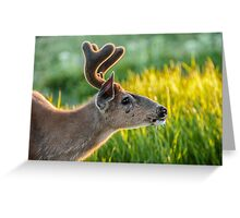 Blacktail Buck in the gently fading late evening light Greeting Card