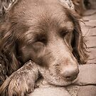 Shishka-Dog Sleeps by Silken Photography