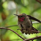 Anna's Hummingbird (Juvenile)~ Morning Stretch by Kimberly Chadwick