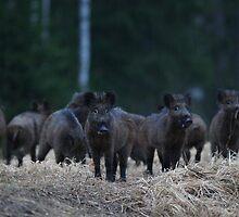 Wild boars by Remo Savisaar