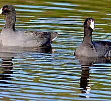 Doubles (American Coots) by imagetj