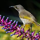 Honey Eater by Helenvandy
