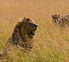 Lion couple by Valerija S.  Vlasov