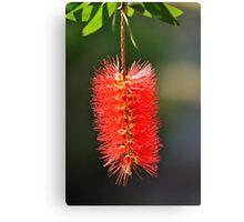 callistemon flower Canvas Print