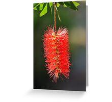 callistemon flower Greeting Card