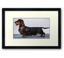 Wire Haired Dachshund Dog Portrait  Framed Print