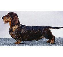 Wire Haired Dachshund Dog Portrait  Photographic Print