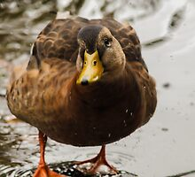 Wet female mallard duck by Arve Bettum