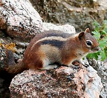 Chipmunk on a Rock by Amy McDaniel