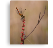 Four Spotted Chaser Canvas Print