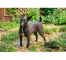 The Pigeon-Toed Patterdale Princess Photographic Print