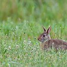 Bunny in Dewey Grass by Yvonne Roberts