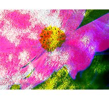 Cosmea .... Photographic Print
