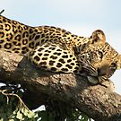 Lounging leopard by Tara Pirie