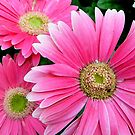 Gerbera Daisy by WildestArt