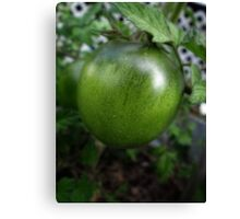Green Tomato on the Vine Canvas Print