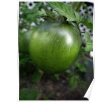 Green Tomato on the Vine Poster