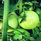 Plump Green Tomatoes by EdsMum