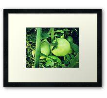 Plump Green Tomatoes Framed Print