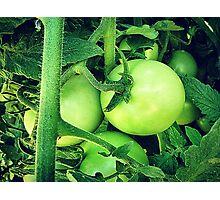 Plump Green Tomatoes Photographic Print