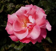 California Pink Rose by mussermd