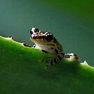 Tree frog ( Guibemantis liber Sp )  Andasibe Madagascar by john  Lenagan
